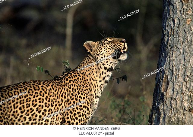Leopard Panthera pardus Looking Up a Tree  Sabi Sands Conservancy, Mpumalanga Province, South Africa