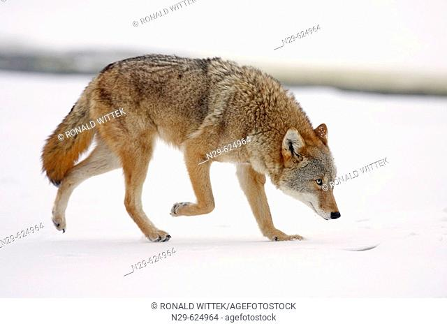 Coyote (Canis latrans) in a game farm. Minnesota. USA