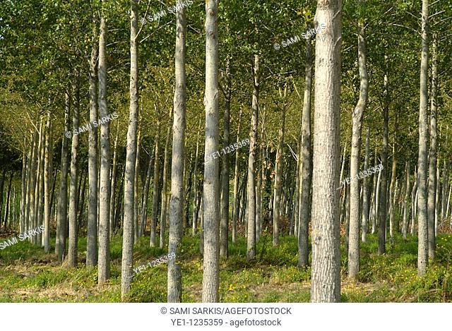 France gironde haut medoc a bordeaux aligned poplar trunk trees