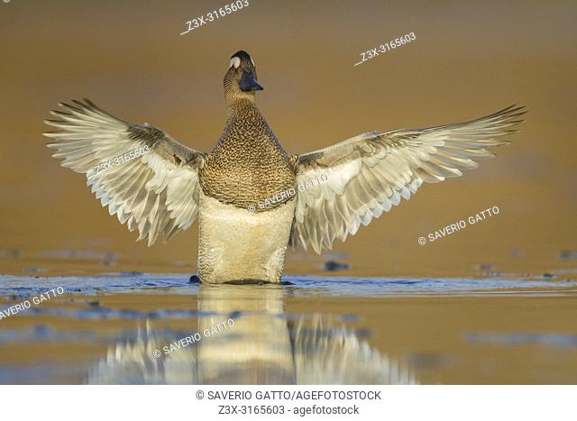 Garganey (Anas querquedula), adult male spreading its wings