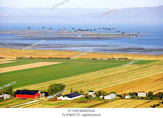 View of Canada Geese, Fields, Farms and St. Lawrence River at Sunrise, Kamouraska Village, Bas-Saint-Laurent Region, Quebec