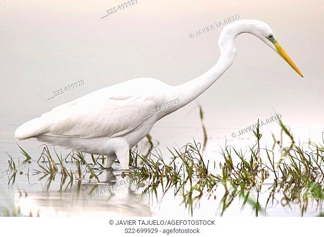 Great White Egret (Egretta alba). La Albufera Natural Park, Valencia, Comunidad Valenciana, Spain