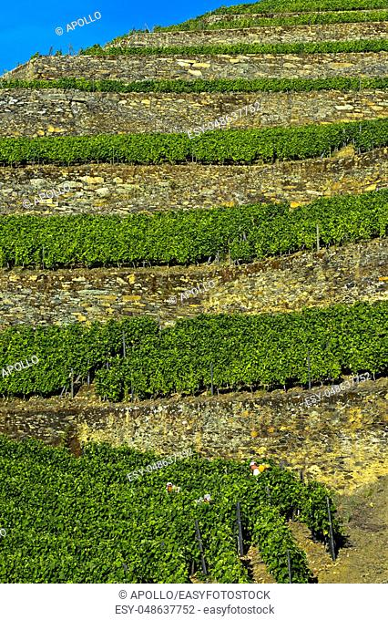 Terraced vineyard on dry stone walls on a steep slope, vineyard Hell Valley, Vale do Inferno, Quinta de la Rosa Winery, Pinhao, Douro Valley, Portugal