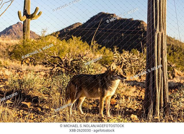 Adult captive coyote, Canis latrans, at the Arizona Sonora Desert Museum, Tucson, Arizona, United States of America