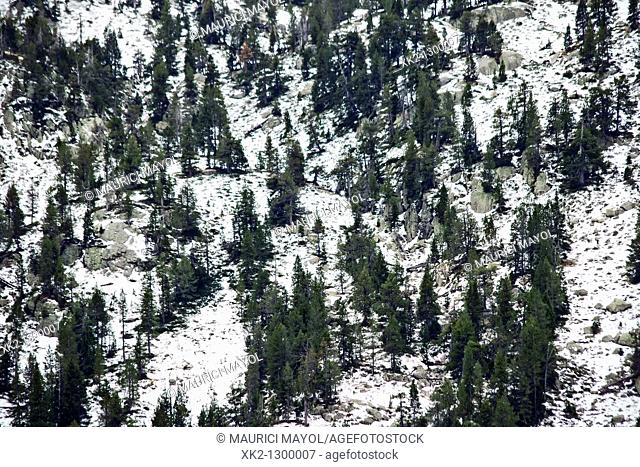 Avetos y pinos nevados