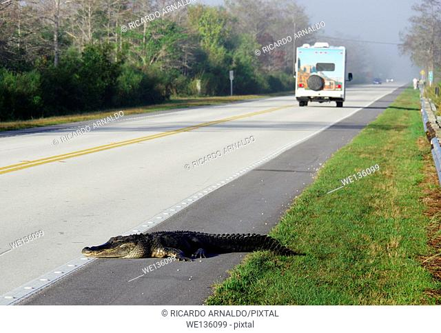 Alligator crosses the road