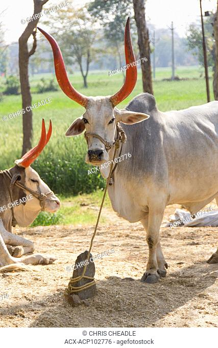 Working cattle with painted horns near Udaipur, Rajastan, India