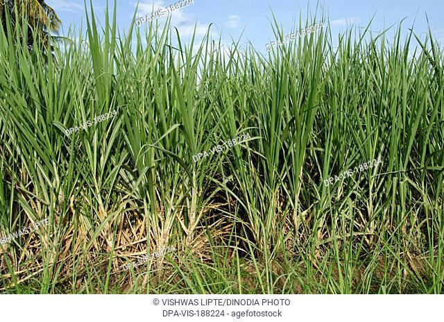 Sugarcane field Padhegaon Shrirampur Ahmednagar Maharashtra India Asia