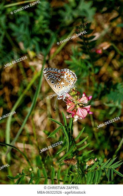 Adonis Blue, Polyommatus bellargus, Kaiserstuhl (range of hills), Germany