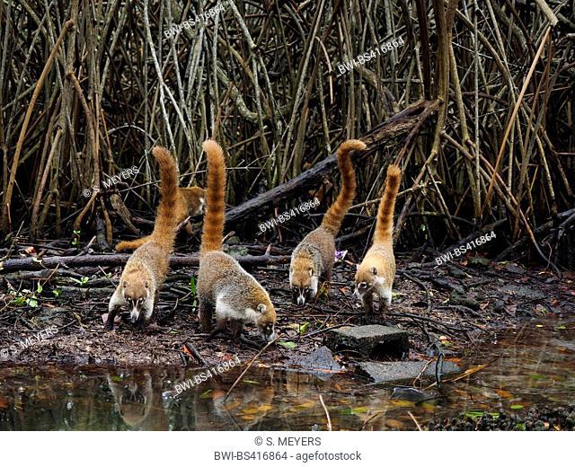 White-nosed coati (Nasua narica), group on the feed at mangrove, Mexico, Yukatan