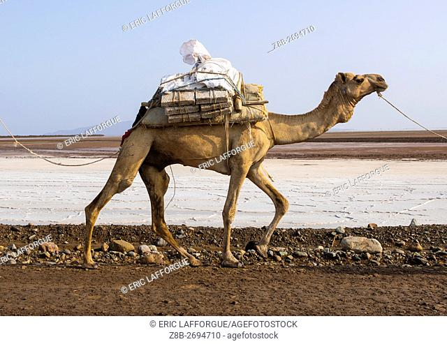 Ethiopia, Afar Region, Dallol, camel caravans carrying salt through the danakil depression