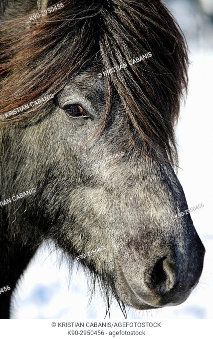 Portrait of a young Icelandic horse with thick forelock, Attenbach, Siegerland, North-Rhein-Westphalia, Germany, Europe