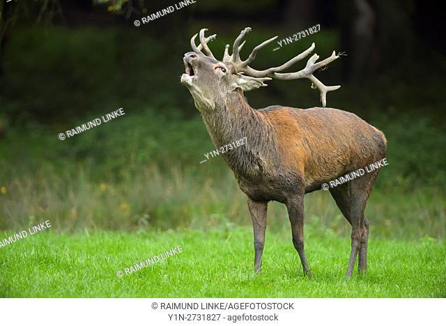 Red deer, Cervus elaphus, Male, in Rutting Season