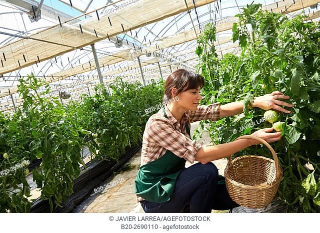 Farmer, Tomato hydroponics, Greenhouse, Agricultural field, Funes, Navarre, Spain