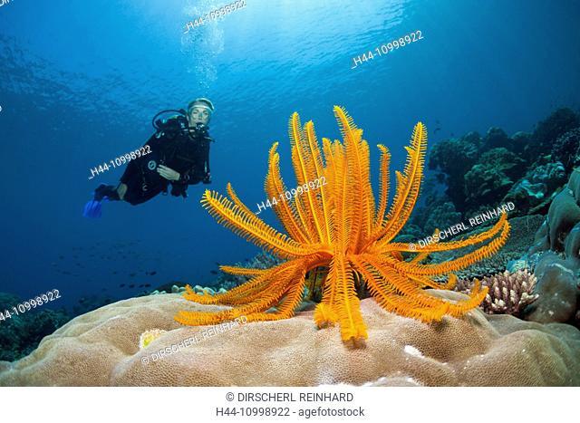 Crinoid in Coral Reef, Comanthina schlegeli, Ambon, Moluccas, Indonesia