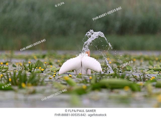 Great White Pelican (Pelecanus onocrotalus) adult, breeding plumage, fishing, Danube Delta, Romania, June