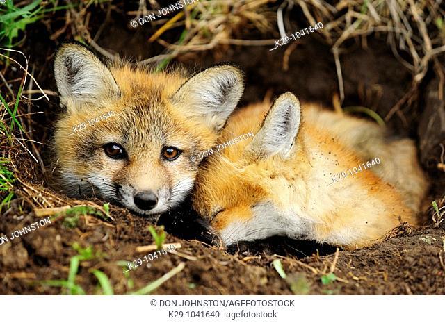Red fox (Vulpes vulpes), kits