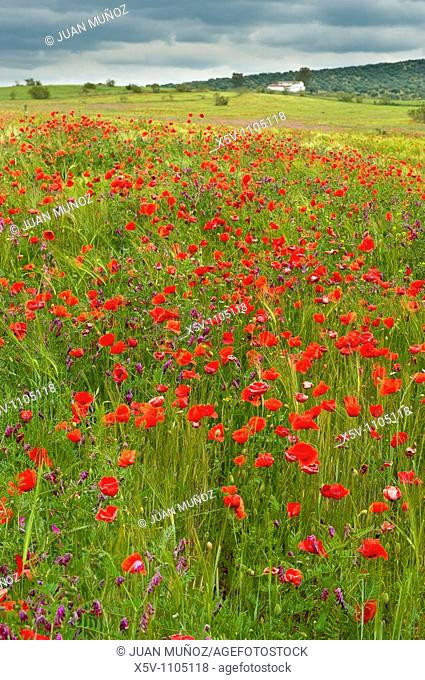 Poppies in a cereal field, Badajoz province, Extremadura, Spain