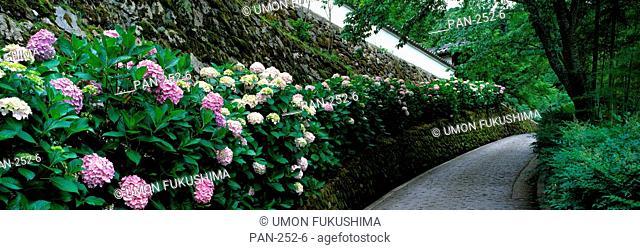 Old Wall with Hydrangea, Hasedera-sando, Sakurai, Nara, Japan
