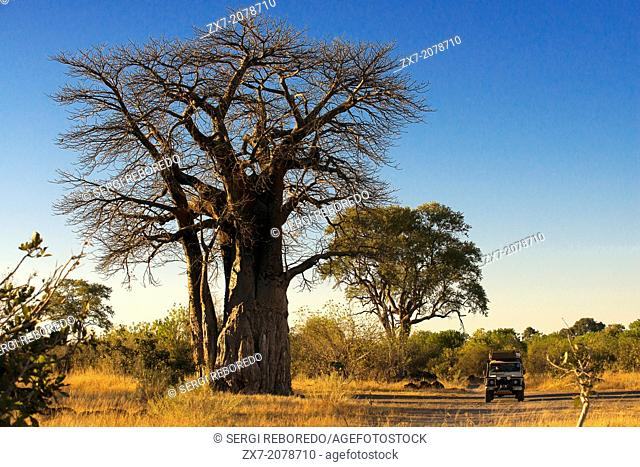 A 4x4 passes by several baobabs stationed on the nearby camp Savute Elephant Camp by Orient Express in Botswna in Chobe National Park road