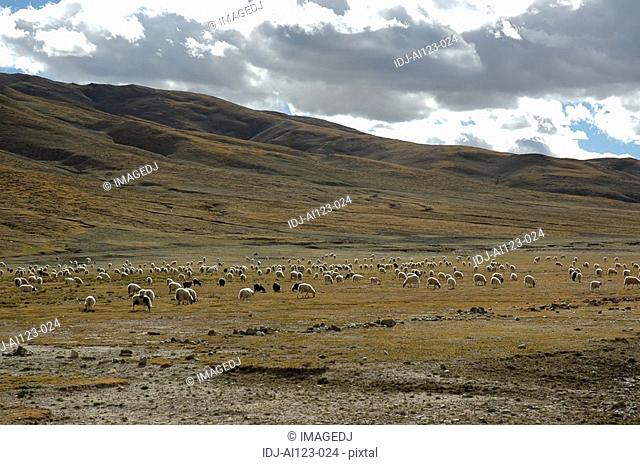 View of a large group of animals grazing