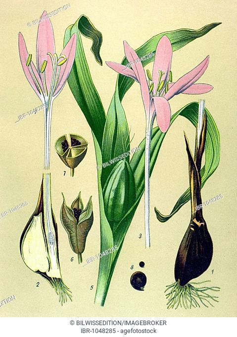 Historic illustration, Autumn Crocus (Colchicum autumnale), poisonous plant, medicinal plant