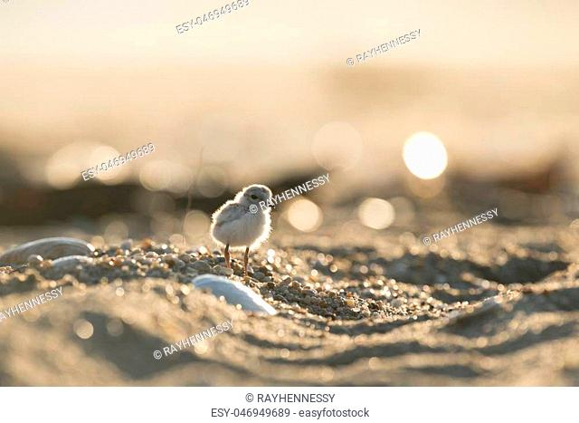 An endangered cute and tiny Piping Plover chick stands on a sandy beach as the early morning sun shines from behind it