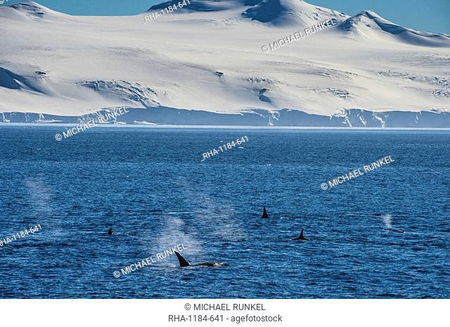 Killer whales (orcas) (Orcinus orca) hunting, Weddell, Sea, Antarctica, Polar Regions