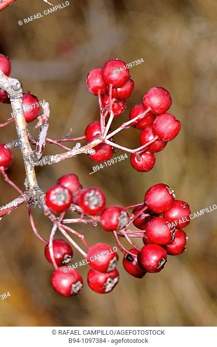 Rose hips (Rosa canina). Osseja, Languedoc-Roussillon, Pyrenees Orientales, France