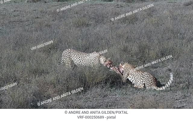 Cheetah juveniles eating on prey, one trying to steel from the other
