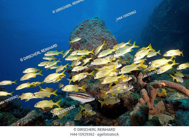 Shoal of Smallmouth Grunts, Haemulon chryargyreum, Caribbean Sea, Dominica