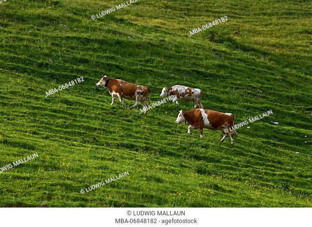 Austria, Tyrol, Thiersee, three cows on the Ackeralm (hut)
