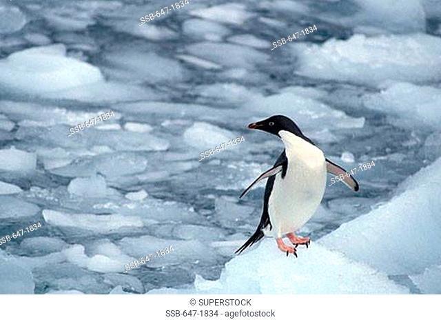 High angle view of an Adelie penguin Pygoscelis adeliae on ice, Antarctica