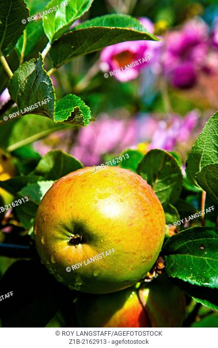 An apple growing the the walled garden of Osborne house on the Isle of Wight, England