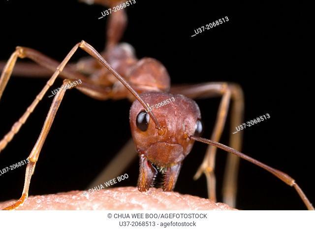 Red ant bites my hand. Image taken at Kampung Skudup, Sarawak, Malaysia