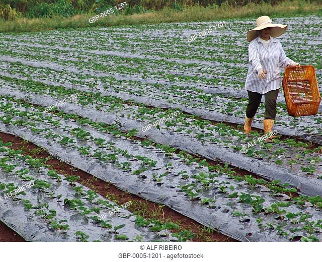 Planting strawberries, organic, Itapeva, São Paulo, Brazil