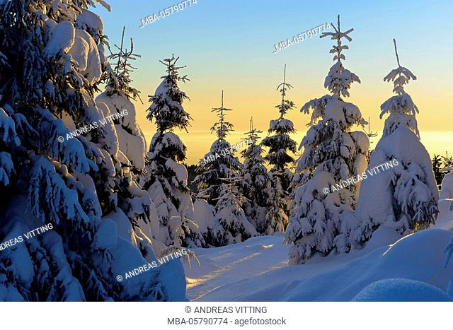 Snow-covered spruces at sunrise at the Wurmberg in Harz, near Braunlage, Lower Saxony, Germany