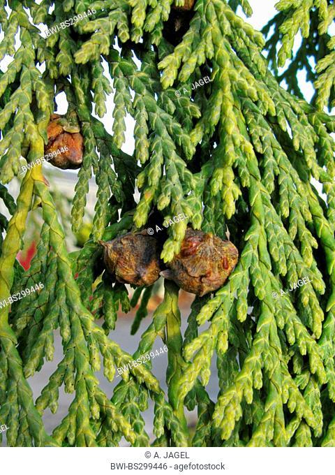Weeping Yellow-cedar (Cupressus nootkatensis 'Pendula', Cupressus nootkatensis Pendula, Chamaecyparis nootkatensis 'Pendula'