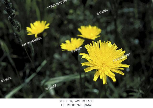 Blooming dandelion on a grassland