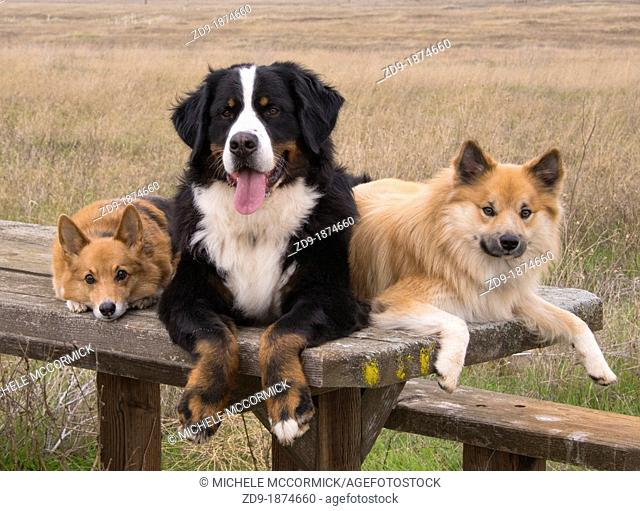 Corgi, Bernese Mountain Dog and Icelandic Shepherd relax on a picnic table