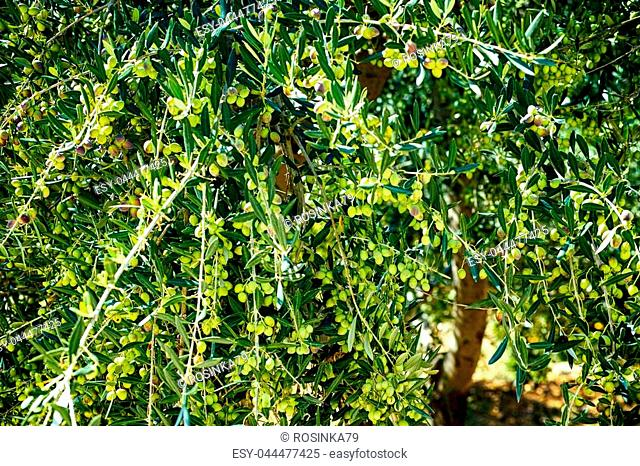 Olive tree with unripe olives. Close-up
