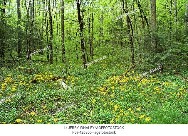 Spring Landscape & Flowers, Greenbrier, Great Smoky Mtns National Park, TN