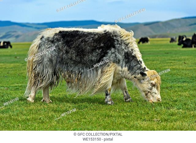 Grazing yak (Bos mutus), Orkhon Valley, Khangai Nuruu National Park, Oevoerkhangai Aimag, Mongolia