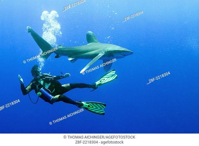Oceanic whitetip shark (Carcharhinus longimanus); , Red Sea, Egypt © Thomas Aichinger - VWPics.com