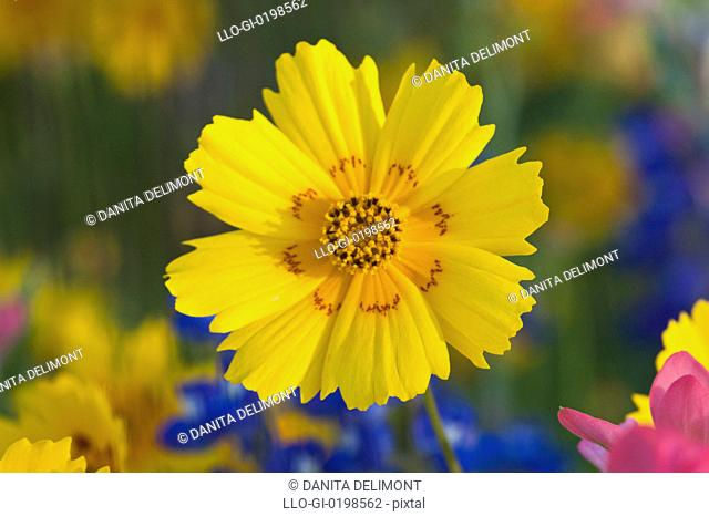 Close-up of Crown Tickseed Coreopsis nuecensis, Texas, USA, North America
