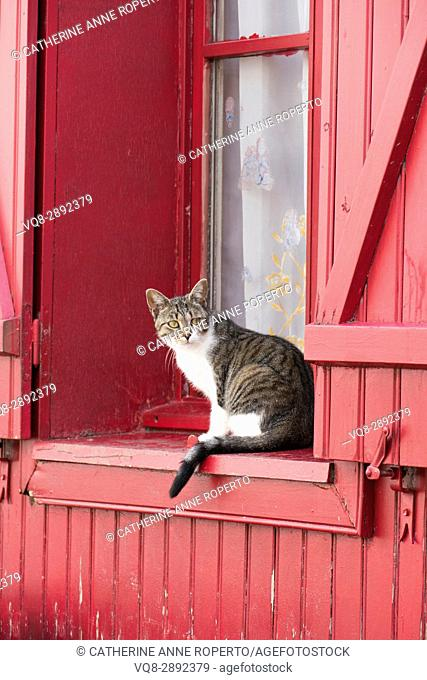 Tabby cat watching from magenta wooden clad window sill with traditional shutters, Amiens, France
