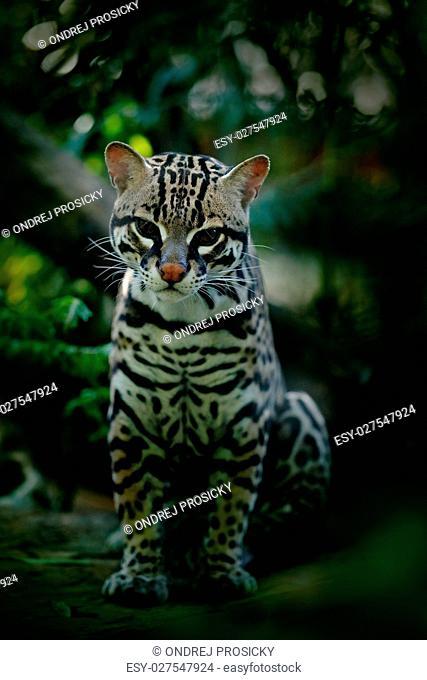cat margay