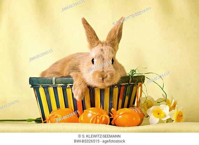 domestic rabbit (Oryctolagus cuniculus f. domestica), young brown bunny sitting in an Easter basket with Easter eggs in front, Germany