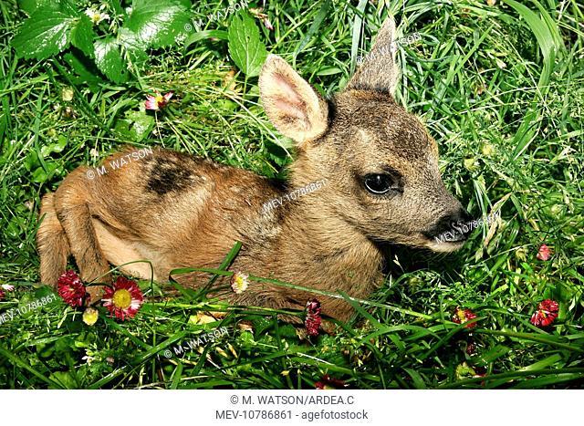 Roe Deer - fawn