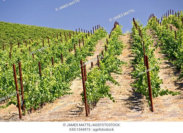 Grape vines climb the hills of a California vineyard